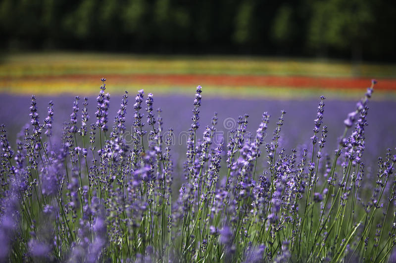 Lavenders are seen in Nakafurano town in Hokkaido, northern Japan stock photo