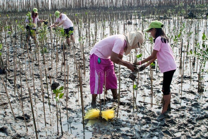 Lavorare volontario ai giovani alberi delle mangrovie della pianta immagine stock