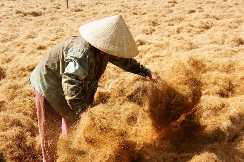 Lavoratore asiatico, noce di cocco, vietnamita, fibra di cocco, delta del Mekong immagine stock