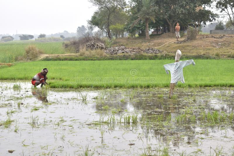 Lavoratore che pianta riso nella terra immagine stock libera da diritti