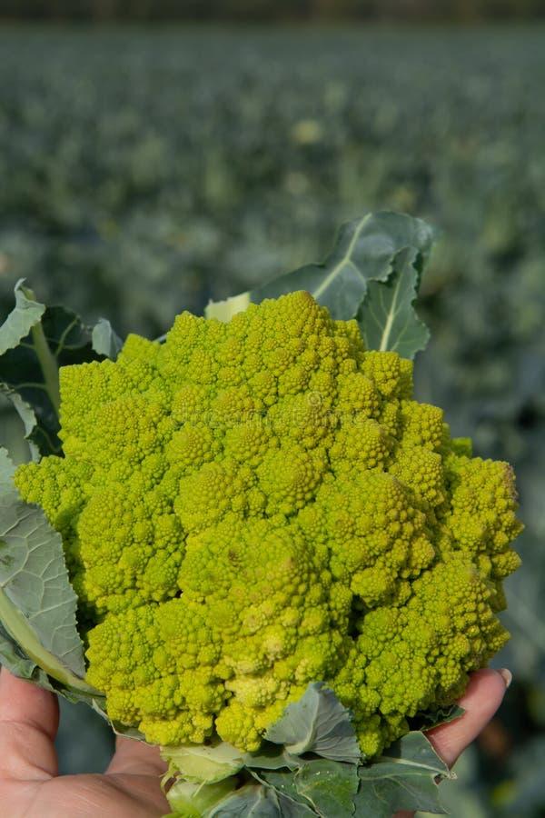 Lavoratore che tiene a disposizione i broccoli verdi maturi di Romanesco o Ca romano immagine stock libera da diritti