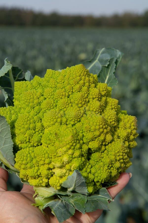 Lavoratore che tiene a disposizione i broccoli verdi maturi di Romanesco o cavolfiore romano, Broccolo Romanesco, cavolfiore roma immagini stock libere da diritti