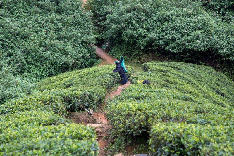 Lavoratore della piantagione di tè in Nuwara Eliya, Sri Lanka immagine stock