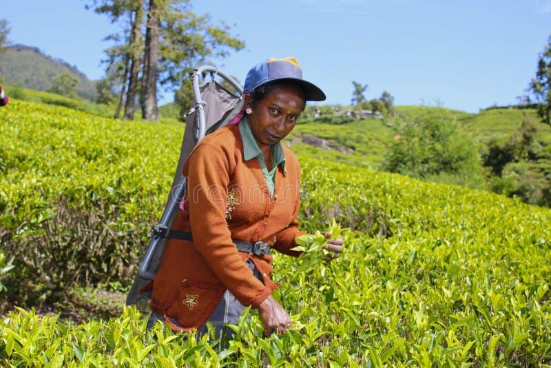 Lavoratore dello Sri Lanka della piantagione di tè che raccoglie le foglie fotografia stock