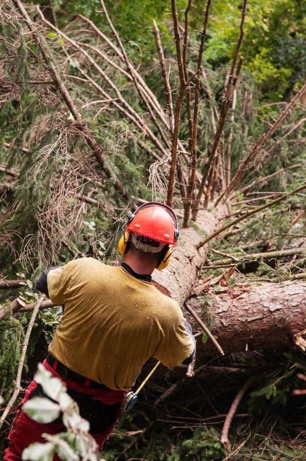 Lavoratore di silvicoltura con l'ingranaggio protettivo che prepairing per misurare un albero attillato abbattuto fotografia stock