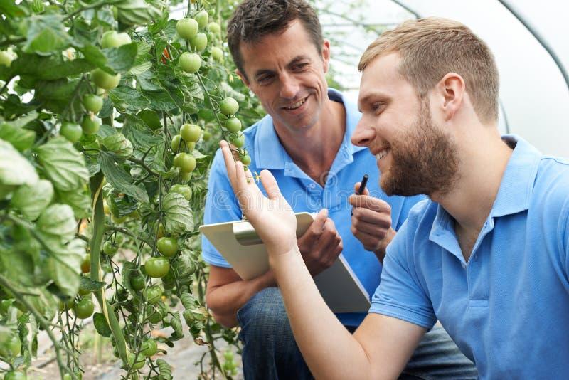 Lavoratori agricoli con le lavagne per appunti che controllano le piante di pomodori fotografia stock libera da diritti