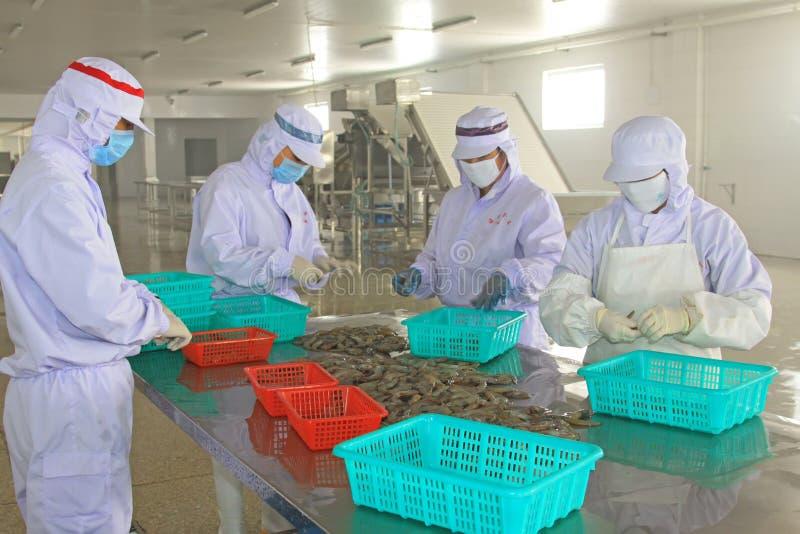 Lavoratori che lavorano nella linea di trasformazione del gamberetto nei proces dei frutti di mare fotografie stock