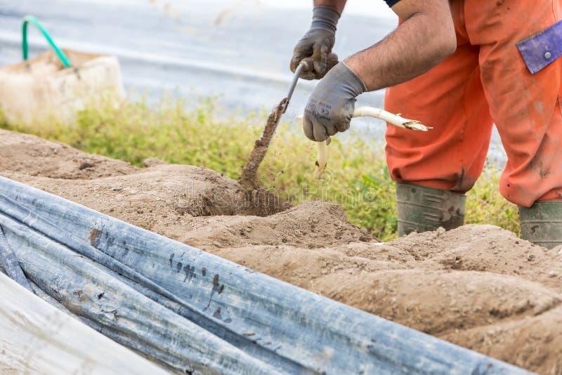 lavoratori nell'azienda agricola durante la raccolta dell'asparago bianco fotografie stock libere da diritti