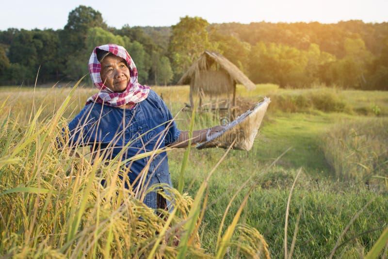Lavoratrice agricola anziana che lavora al giacimento del riso sulla stagione del raccolto fotografie stock