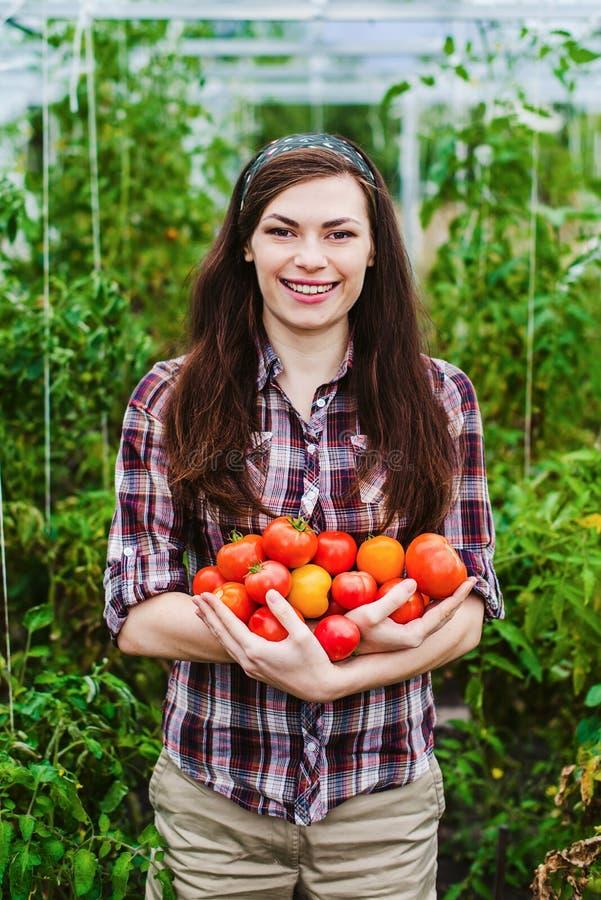 Lavoratrice di agricoltura che raccoglie i pomodori in serra fotografia stock