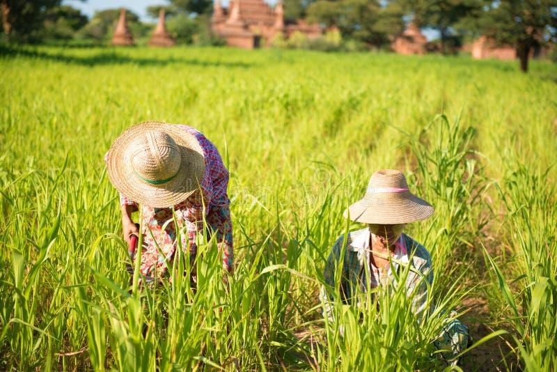 Lavoro asiatico tradizionale degli agricoltori fotografia stock libera da diritti