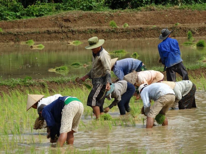 Lavoro degli agricoltori al giacimento del riso fotografia stock libera da diritti