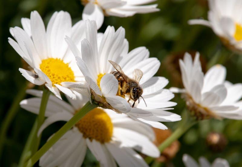 Lavoro dell'ape di amore in natura fotografie stock libere da diritti