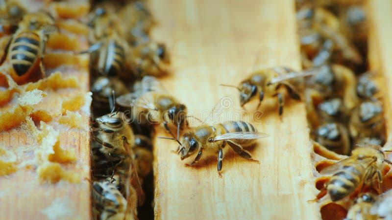 Lavoro delle api dentro l'alveare fotografia stock