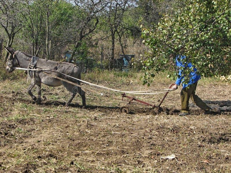 Lavoro di asino duro nel giardino immagini stock