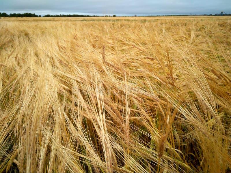 Lavoro di campo dei raccolti delle orecchie dei giacimenti dell'oro delle spighette dei cereali di agricoltura di produzione vege immagine stock libera da diritti
