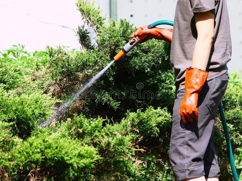 Lavoro innaffiando le piante con il tubo flessibile di giardino con lo spruzzatore fotografia stock
