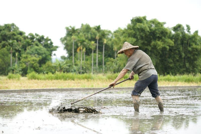Download Lavoro Nel Giacimento Del Riso Immagine Stock Editoriale - Immagine di contadino, coltivatore: 56892484