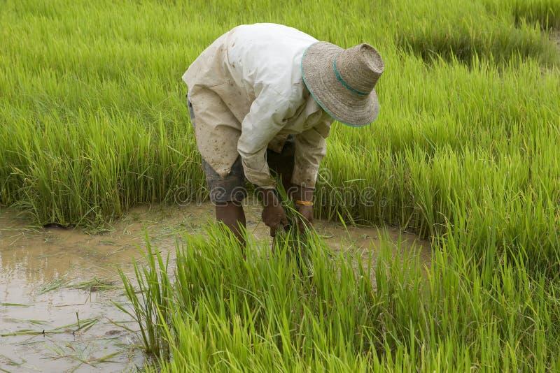 Lavoro sul risaia-campo in Asia immagini stock libere da diritti