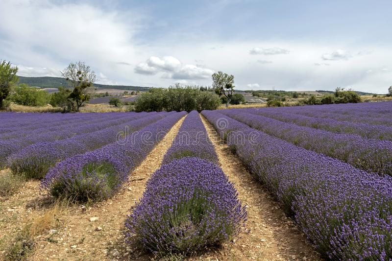 Lawend linie zakrywać w kwiatach na niekończący się polach skażali w purpurach, Provence, południe Francja obrazy stock