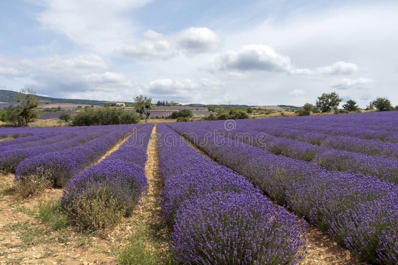 Lawend linie zakrywać w kwiatach na niekończący się polach skażali w purpurach, Provence, południe Francja fotografia royalty free