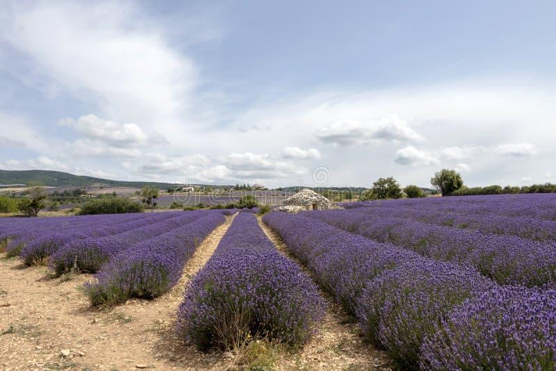 Lawend linie zakrywać w kwiatach na niekończący się polach skażali w purpurach, Provence, południe Francja obraz stock
