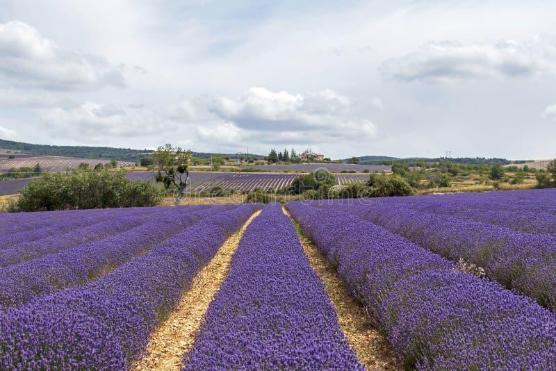 Lawend linie zakrywać w kwiatach na niekończący się polach skażali w purpurach, Provence, południe Francja zdjęcia stock