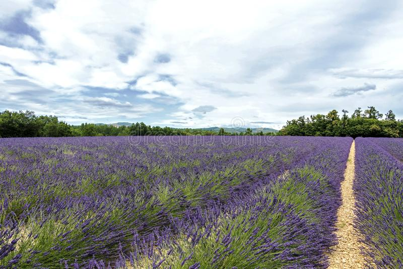Lawend linie zakrywać w kwiatach na niekończący się polach skażali w purpurach, Provence, południe Francja zdjęcie stock