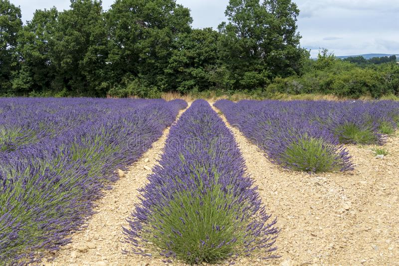 Lawend linie zakrywać w kwiatach na niekończący się polach skażali w purpurach, Provence, południe Francja zdjęcia royalty free