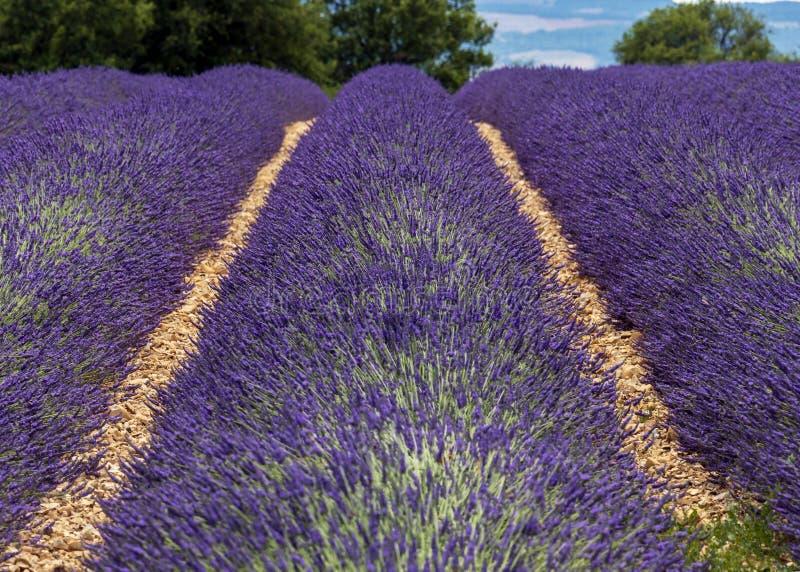 Lawend linie zakrywać w kwiatach na niekończący się polach skażali w purpurach, Provence, południe Francja obraz royalty free