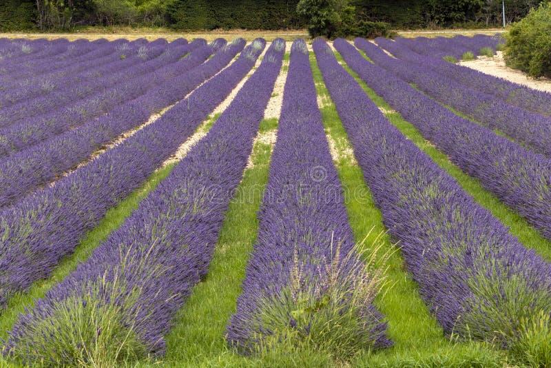 Lawend linie zakrywać w kwiatach na niekończący się polach skażali w purpurach, Provence, południe Francja obrazy royalty free