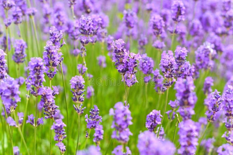 Lawend pola w zakończeniu w górę szczegółu, dziki purpurowy lawendowy kwiatu dorośnięcie outside zdjęcie royalty free