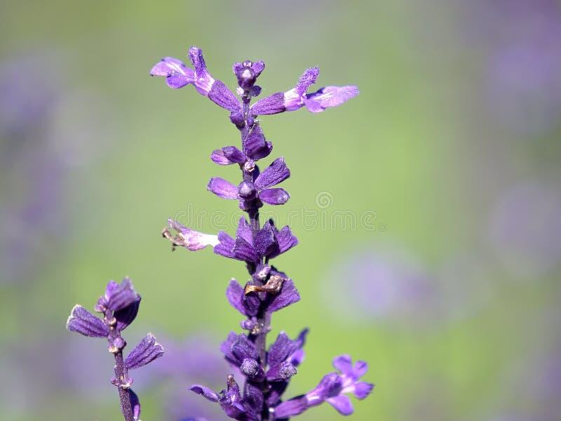 Download Lawenda obraz stock. Obraz złożonej z aromaty, odosobniony - 13338051
