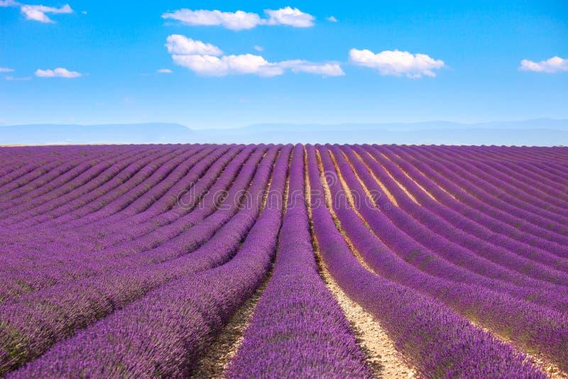 Lawenda kwitnie kwitnień pola Valensole Provence, Francja obraz stock