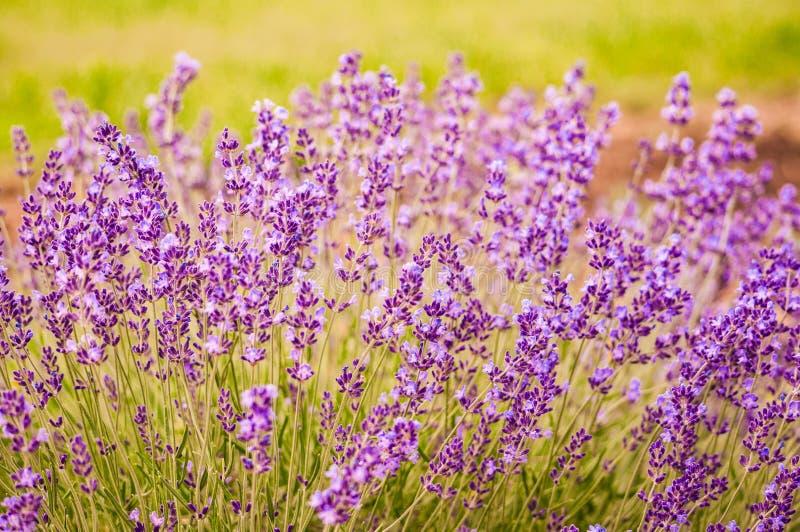 Lawenda kwitnie kwitnienie w polu zdjęcia royalty free