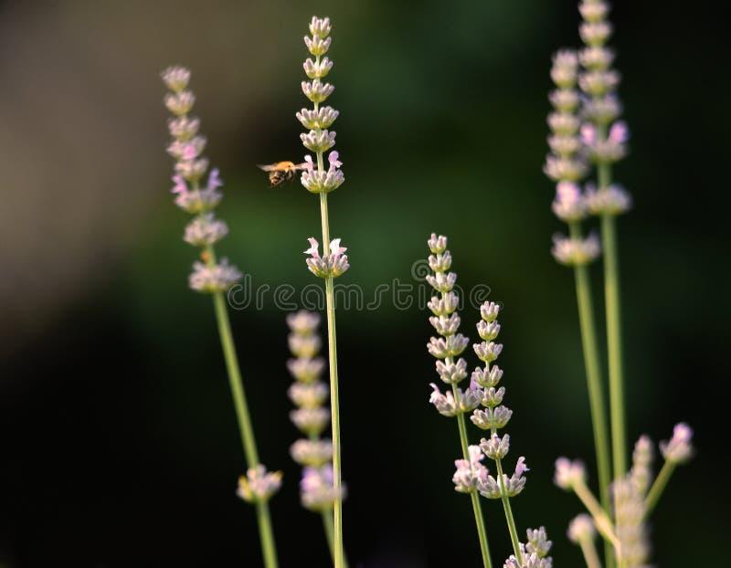 Lawenda kwitnie z zapyla pszczołą zdjęcie stock