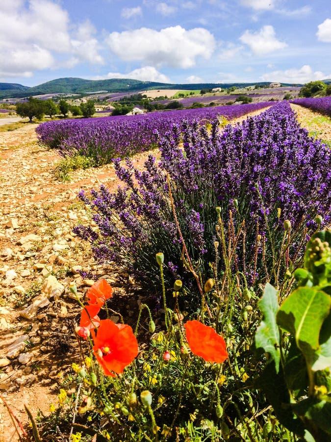 Lawenda w południe Francja zdjęcie stock