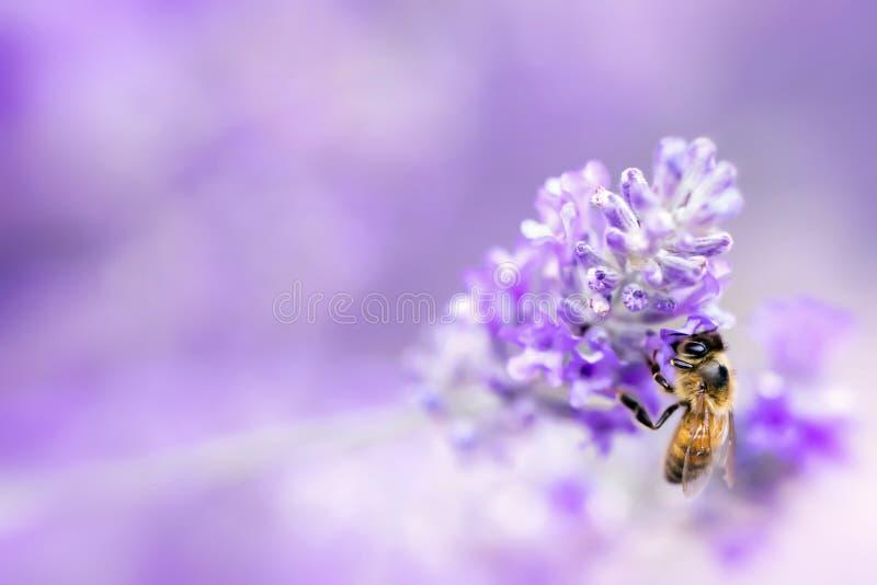 Lawenda z pszczoły Miękką ostrością fotografia stock