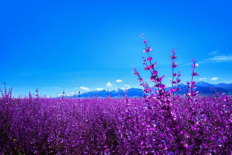 Lawenda zasadzająca przy stopą Tianshan góra Chiny obraz stock