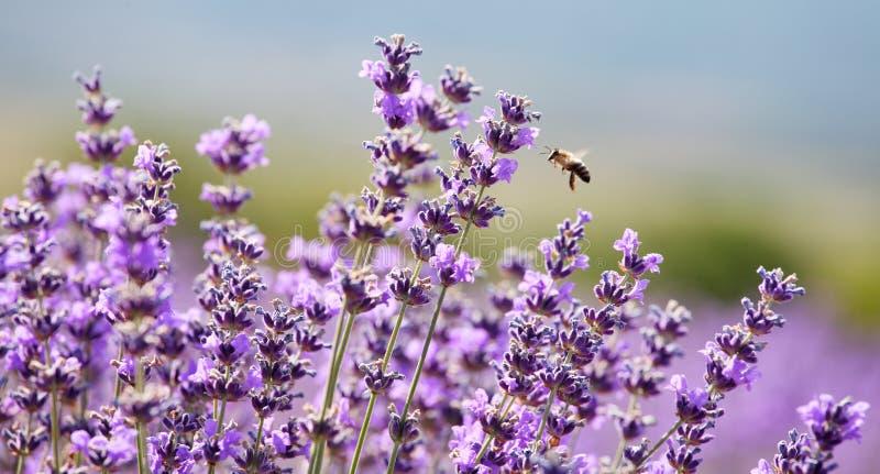 Lawendowa i miodowa pszczoła obrazy royalty free