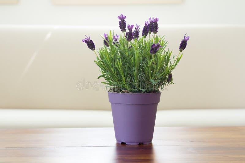 Lawendowa roślina kwitnie w garnku obrazy royalty free