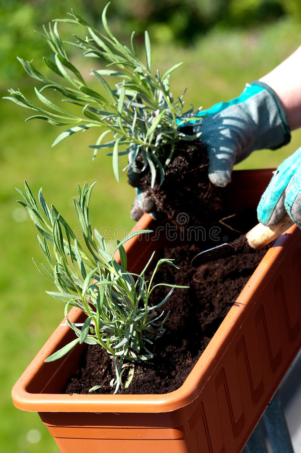 Download Lawendowa rozsada obraz stock. Obraz złożonej z ogrodnictwo - 28969695