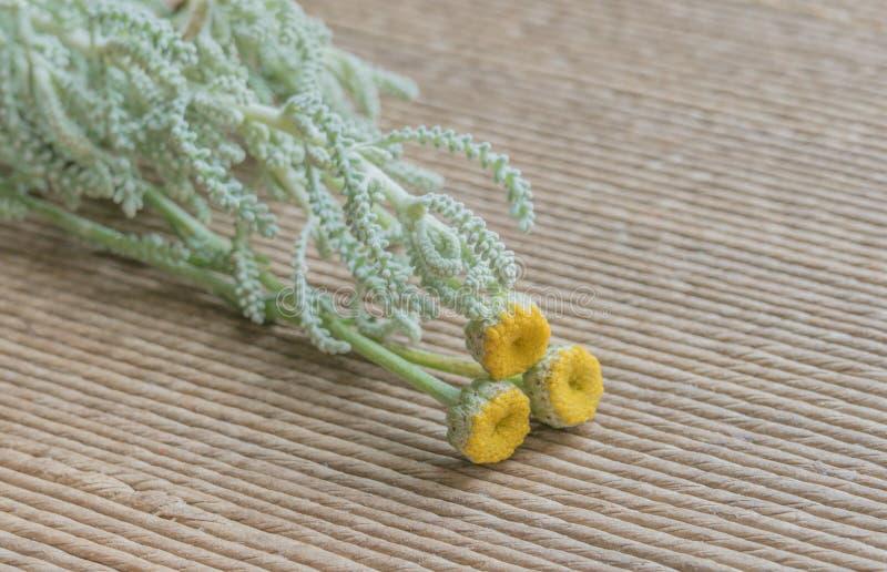 Lawendowej bawe?ny Santolina chamaecyparissus Nana zdjęcie stock
