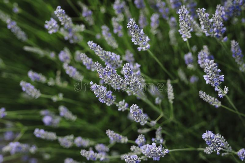 Lawendowi kwiaty kwitną w lat polach w Europa obraz royalty free