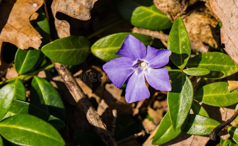Lawendowy błękit lub Perwinkle Wildflower obraz stock
