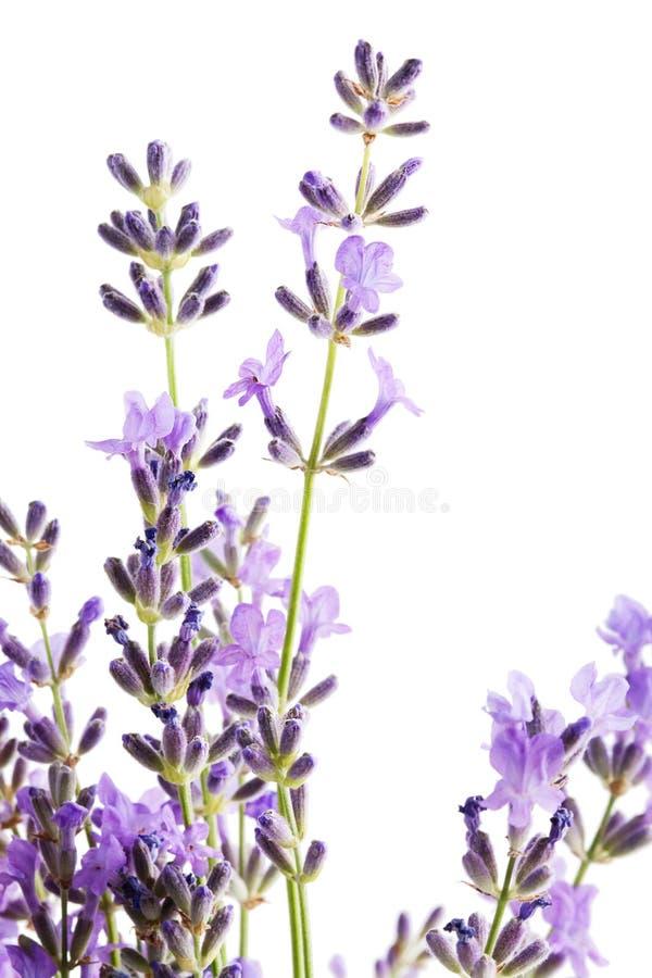 Lawendowy kwiat obrazy royalty free