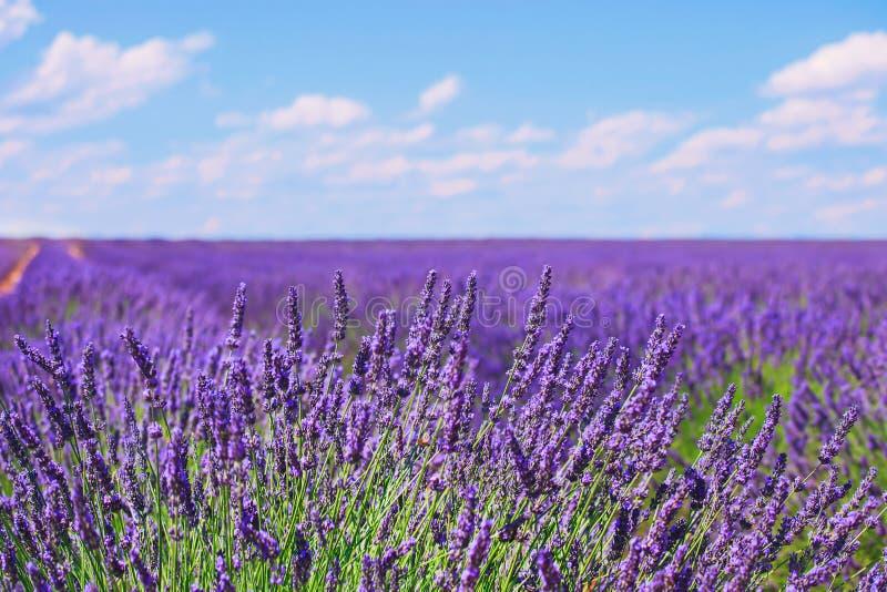 Lawendowy kwiatu kwitnienie odpowiada horyzont Valensole Provence, Fra zdjęcie stock