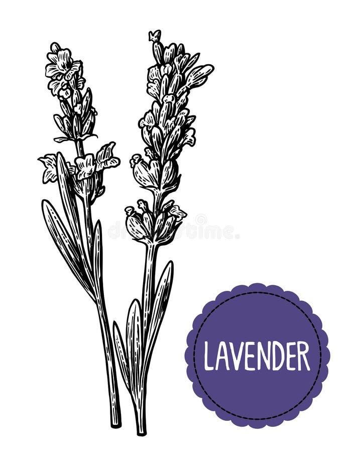 Lawendowy kwiatu nakreślenie Ręka rysująca grawerujący rocznik ilustrację Czarny i biały kolor Biały tło royalty ilustracja