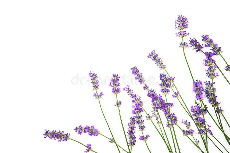 Lawendowy kwiatu wzór odizolowywający na białym tle zdjęcie stock