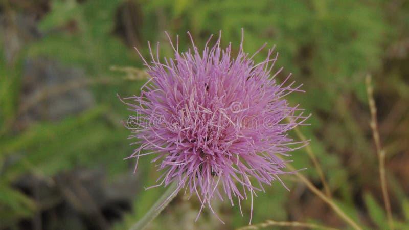Lawendowy Teksas Wildflower zdjęcie stock